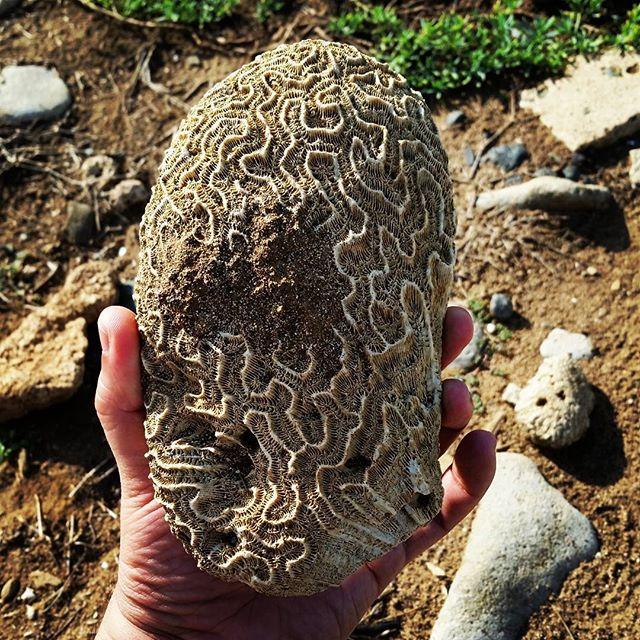 Brain coral. #puertorico