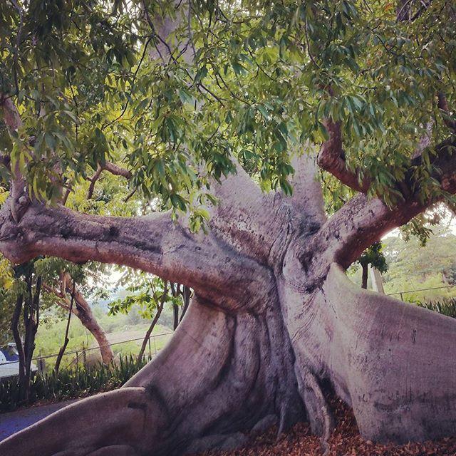 Ceiba tree. Las cabezas de san juan reserva natural. #puertorico